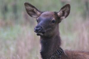 elk calf in GSMNP