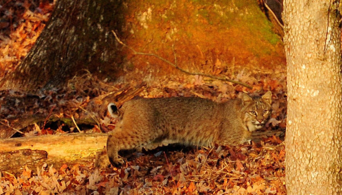 bobcat in Cades Cove