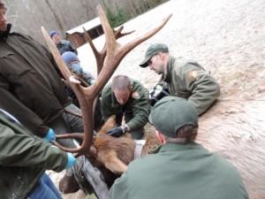 Elk ear tagging - GSMNP