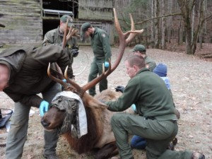 Microchipping elk in Great Smoky Mountains National Park