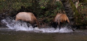 Bulls fighting in river by Chad Taylor