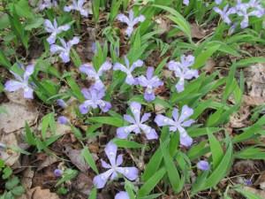 Dwarf-crested Iris
