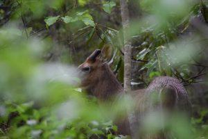 deer in GSMNP