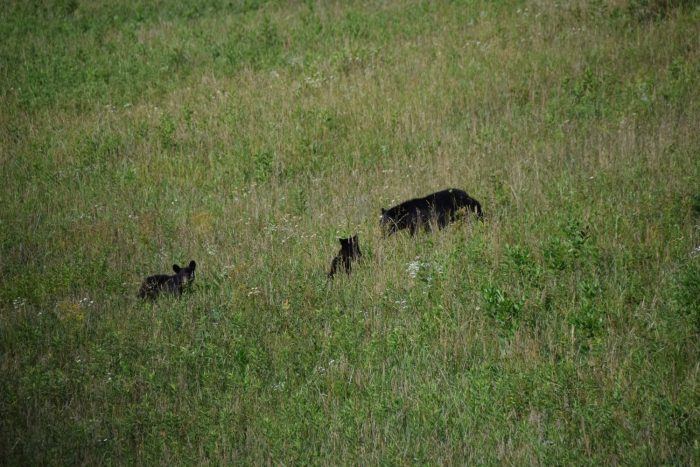 bear and cubs - photo by Linda Spangler