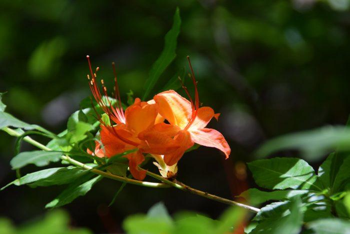 flame azalea - photo by Linda Spangler