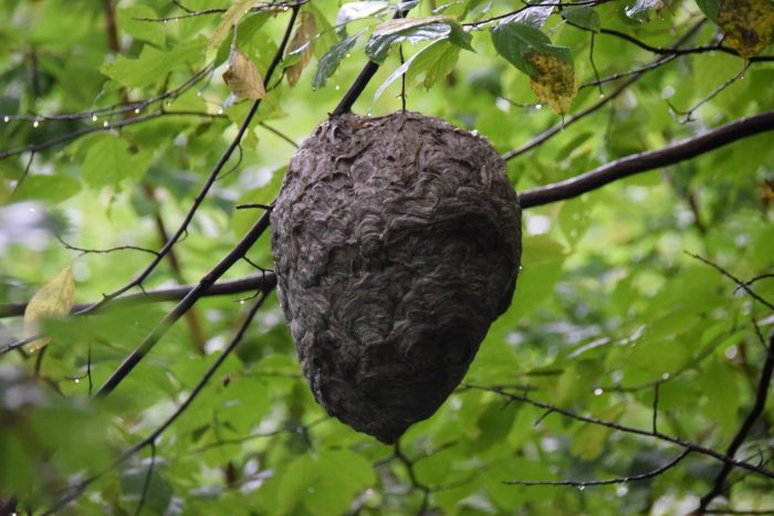 hornet nest - photo by Linda Spangler