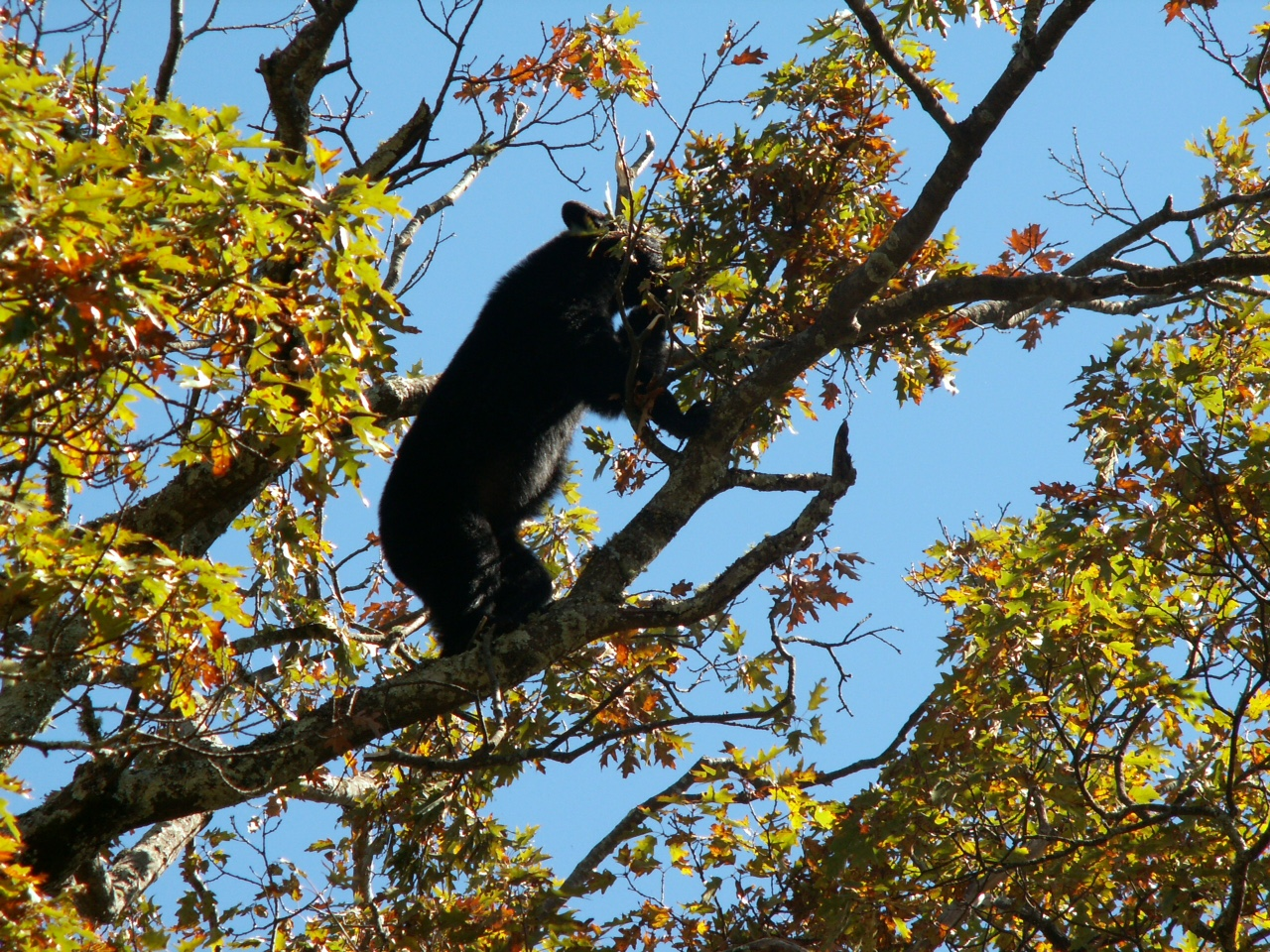 bear eating white oak acorns