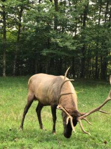 GSMNP elk - photo by Jack Case
