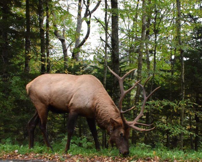 GSMNP elk - photo by Linda Spangler