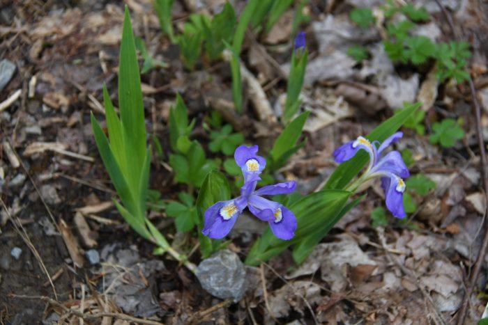 Porters Creek iris