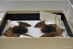 GSMNP bats in natural history specimen collection