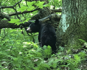 Bear on Little Greenbrier Trail - photo by Danny Bernstein