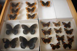 GSMNP butterflies in natural history specimen collection