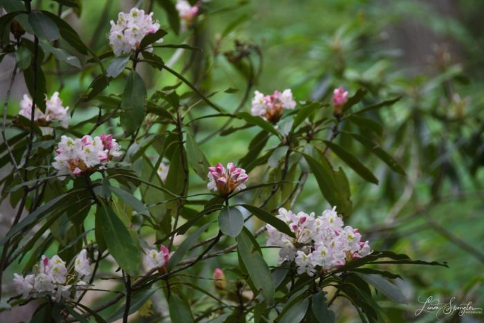 rosebay rhododendron - photo by Linda Spangler