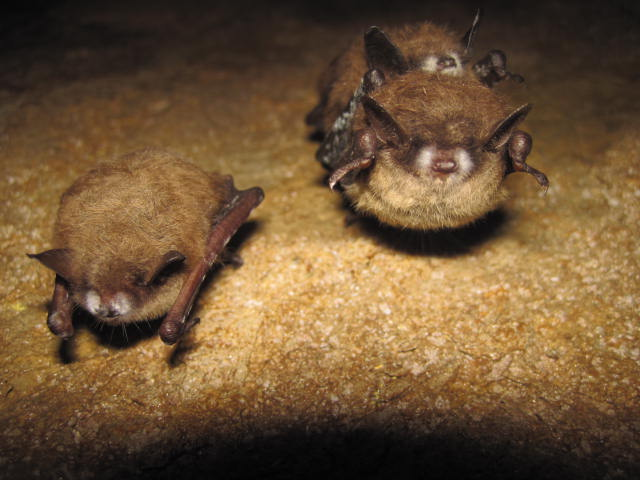 tri-colored bats