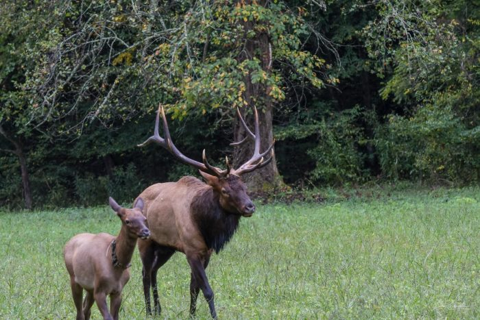 bull elk and calf in GSMNP