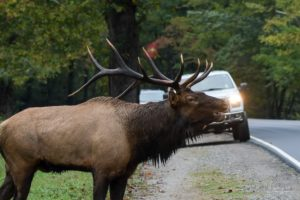 bull elk with car in background
