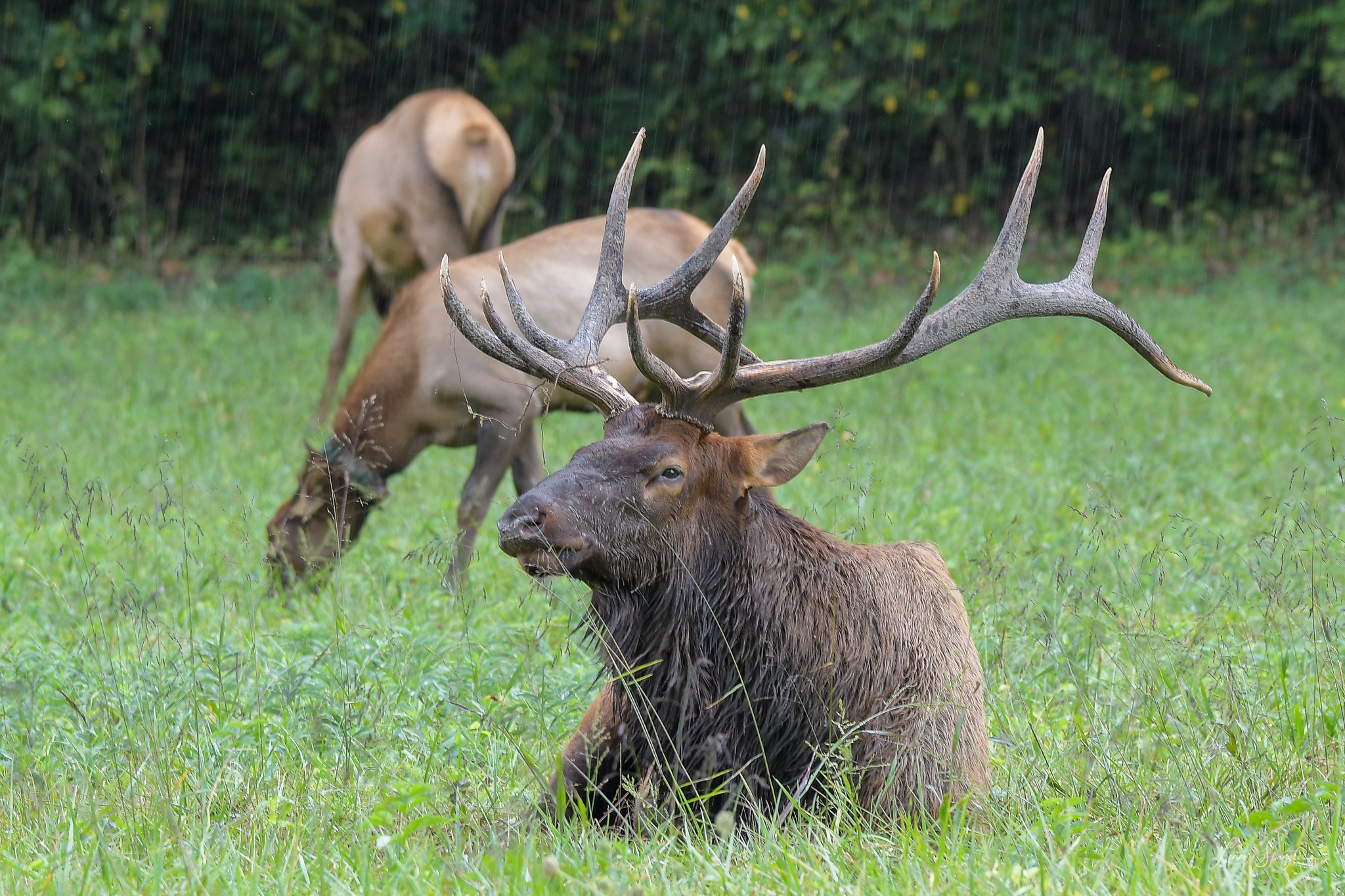 elk in GSMNP - photo by Linda Spangler