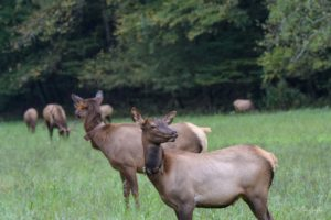GSMNP elk wearing tracking collars