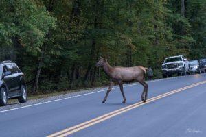 elk crossing road in GSMNP - photo by Linda Spangler