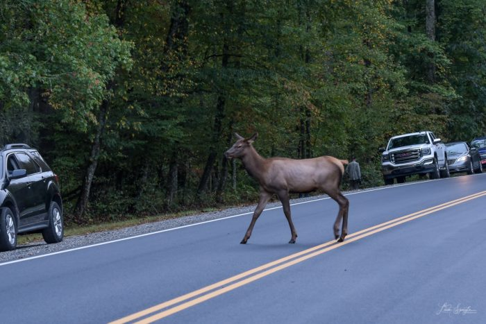 elk crossing road in GSMNP - photo by Linda Spangler