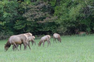 elk grazing in GSMNP - Photo by Linda Spangler