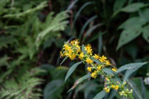 wildflower in GSMNP