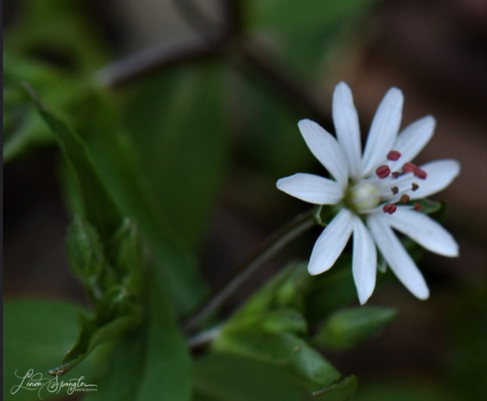 GSMNP wildflower