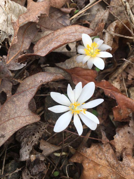 GSMNP wildflower - photo by Marielle DeJong