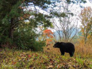 bear on Cades Cove Loop Road