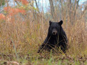 black bear in GSMNP
