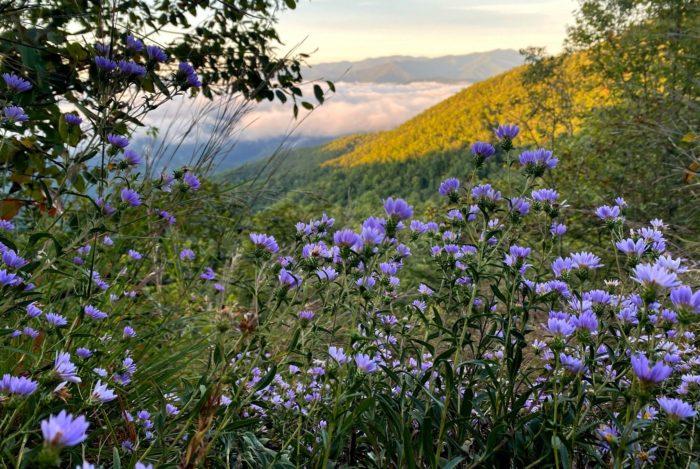 GSMNP wildflowers along AT