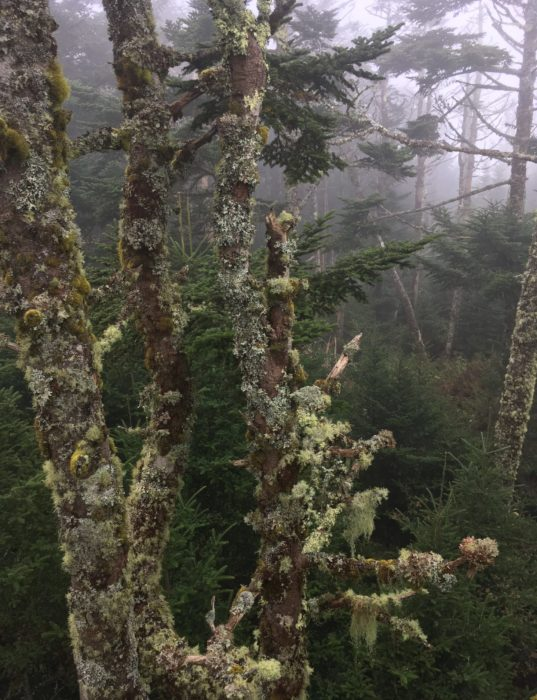 trees at Clingmans Dome - Photo by Dayna Walton