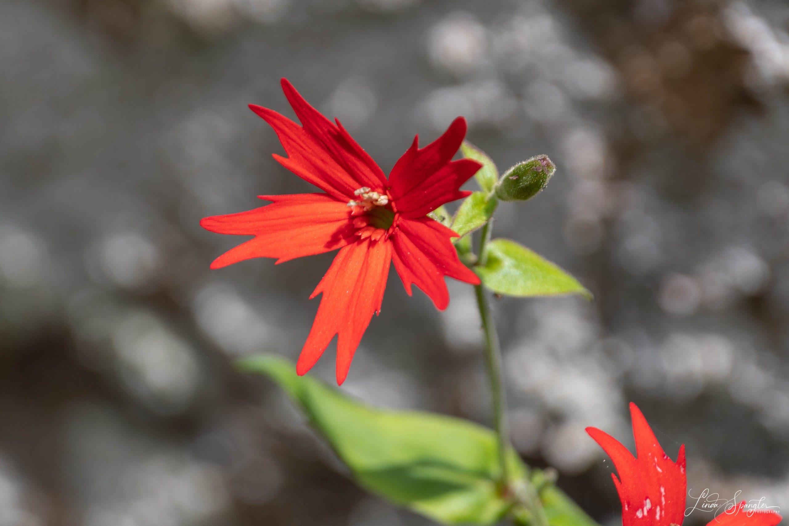 GSMNP wildflower - photo by Linda Spangler