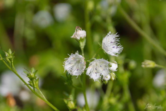 GSMNP wildflower - photo by Linda