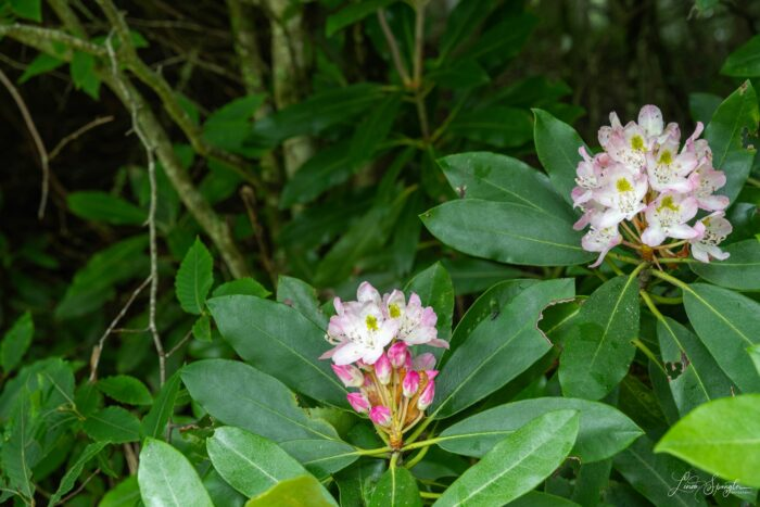GSMNP wildflower